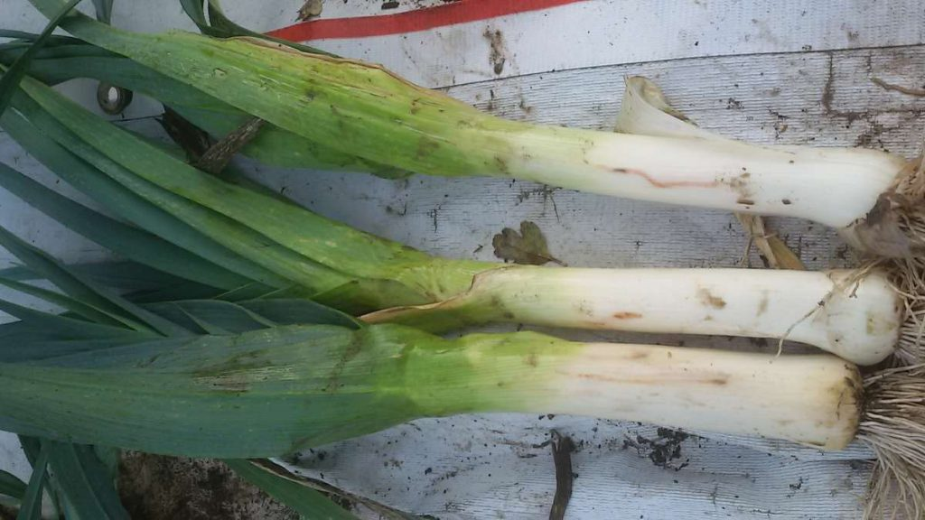 Allium Leaf Miner Tracks Leeks