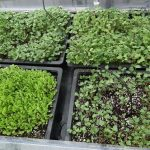 Microgreens – How to Grow Micro-greens Winter & Summer