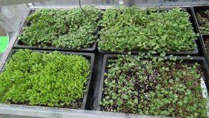 Microgreens Growing in Propagator