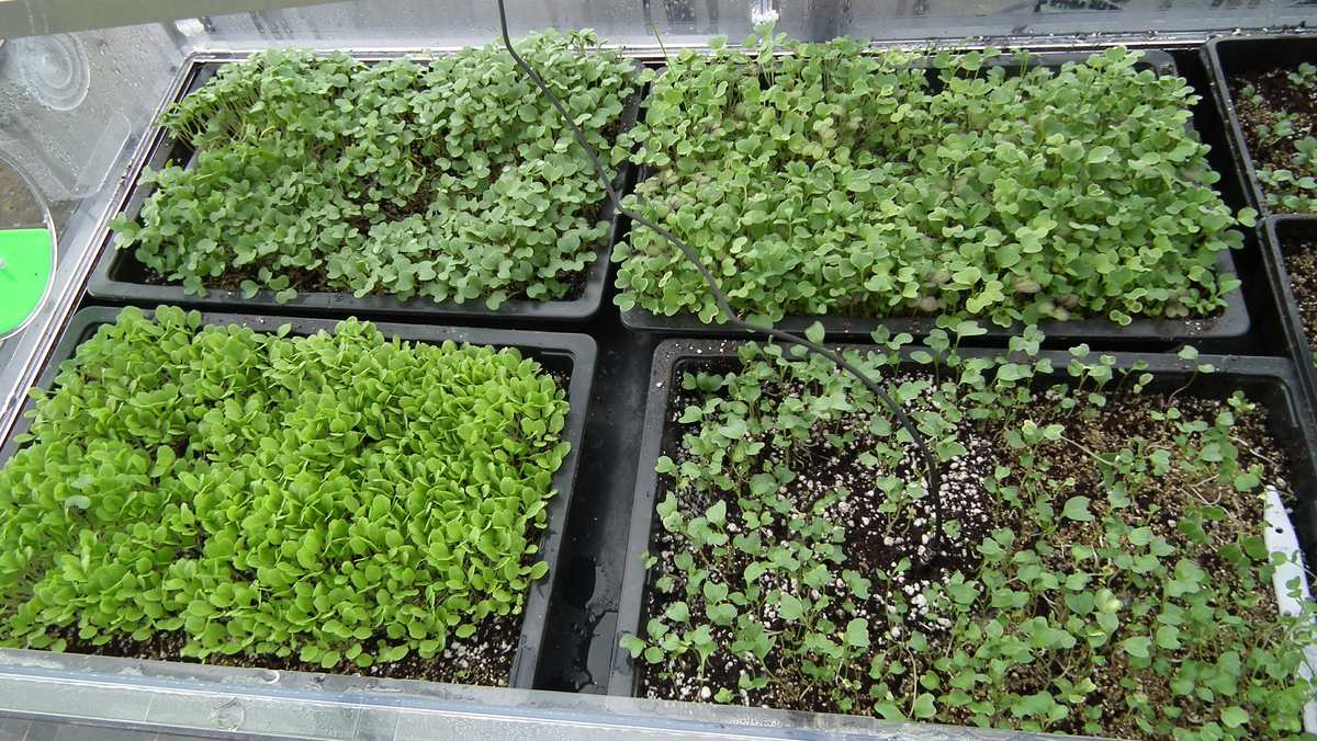 Microgreens How To Grow Micro Greens Winter Summer Allotment