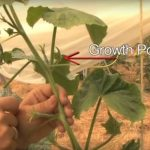 How to Prune Trailing Cucumbers – Pruning Cucumbers