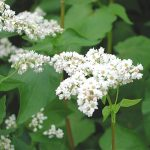 Green Manure: Guide To Sowing & Growing Green Manure