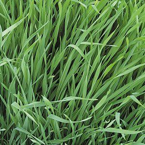 Forage Rye Green Manure
