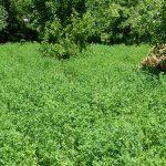 Alfalfa Green Manure