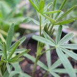 Lupins Green Manure