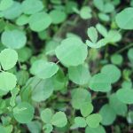 White Clover Green Manure