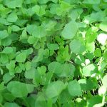Yellow Trefoil Green Manure