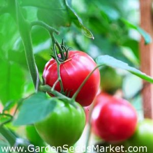 Pink Wonder Tomato
