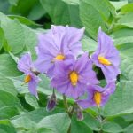 Potato Flowers, Fruits, Seeds & Breeding